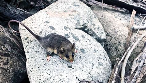 'Genetic rescue' brings cute marsupials back from the