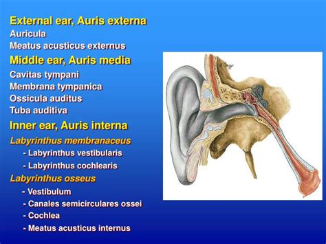 PPT - Anatomy of the Ear PowerPoint Presentation - ID:6102402