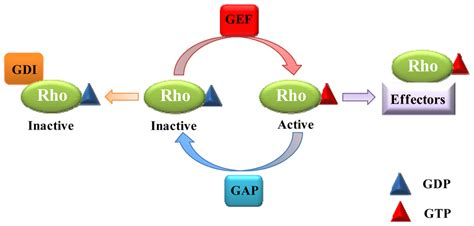 IJMS   Free Full-Text   Roles of Rho GTPases in