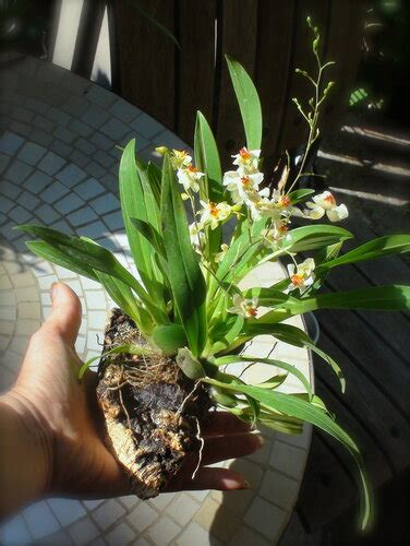 Oncidium Twinkle: orchids_lux — LiveJournal