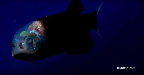 Watch This Exclusive Clip of Bizarre Deep-Sea Fish From