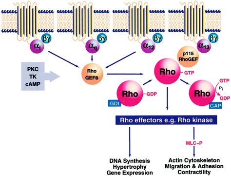 Rho as a Mediator of G Protein-Coupled Receptor Signaling