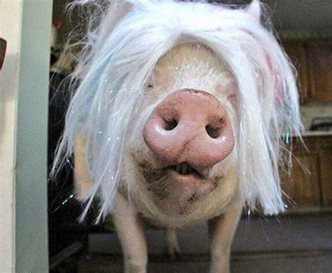 This Pet Pig Has Grown Up To Be A Massive Animal - Barnorama
