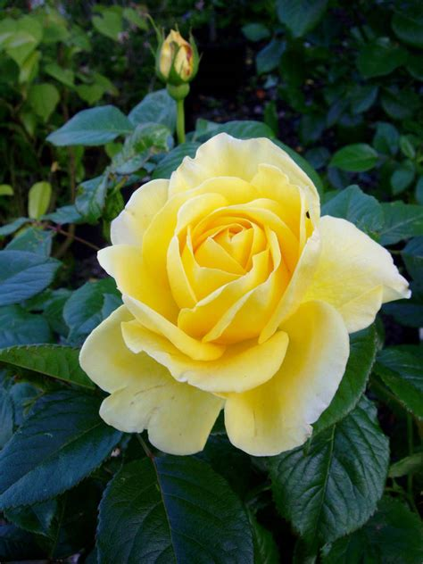 Golden Wedding Gifts Rose Golden 50th Anniversary By