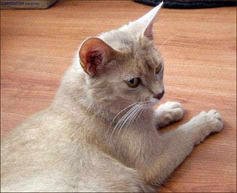 Encyclopedia of Cats Breed: Fawn Abyssinian Cat