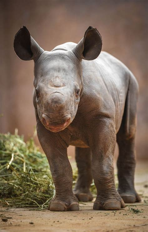 With Only 600 Remaining In the Wild, A Baby Black Rhino