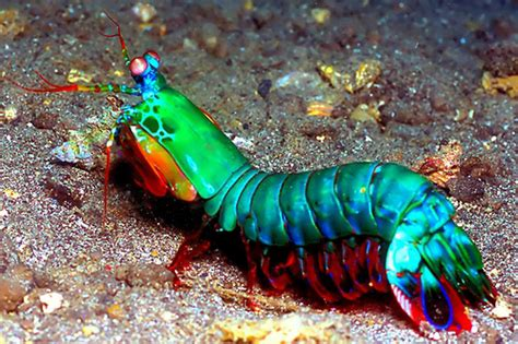 The Mantis Shrimp | SiOWfa15: Science in Our World
